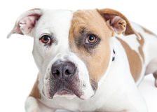 Closeup of Tan and White Pit Bull Dog Royalty Free Stock Photos
