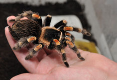 Tarantula on hand. Closeup of tarantula on hand of person stock photo