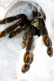 Closeup of tarantula (Psalmopoeus irminia). Female. Focus on leg Stock Images