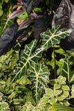 Closeup of taro leaves Royalty Free Stock Image