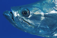Closeup of Tarpon - Bonaire Royalty Free Stock Photography