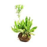 Closeup of tarragon herb Stock Photo