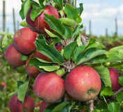 Closeup of tasty apples  ready for harvesting Stock Image