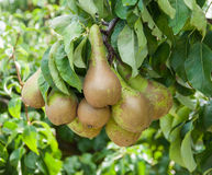 Closeup of tasty pears hanging on a tree Stock Photo