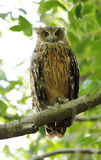 Closeup of Tawny Fish Owl Royalty Free Stock Image