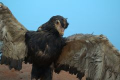 Closeup of taxidermied African fishing eagle stock photography