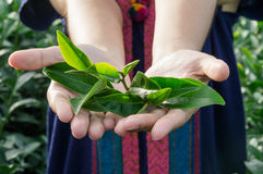Closeup tea leaves in hand. Closeup tea leaves in woman hand Stock Photography