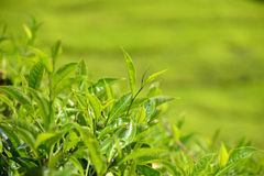 Closeup Of Tea Plants Royalty Free Stock Images
