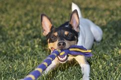 Closeup of a Terrier Dog Tugging Rope Toy. An oversize toy fox terrier playing tug of war with the photographer on a mowed lawn royalty free stock photo