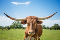 Closeup of Texas longhorn on spring pasture royalty free stock image