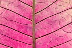 Texture with leaf veins of withered poinsettia flower. Closeup of a texture with leaf veins of withered poinsettia flower royalty free stock image