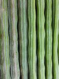 Closeup texture moringa pods the fruit is round, long, green. Old, dark green, brown. Thick bark is a convex wave according to the area where the seed is stock photography