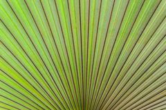 Closeup with texture of palm leaf. Stock Photos