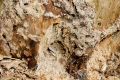 Closeup of texture of termite damaged wood Royalty Free Stock Images