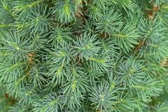Closeup texture of young Dwarf Pine Tree leaves in green color Royalty Free Stock Photography