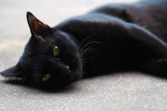 Thai cats with black fur are lying on the concrete floor royalty free stock photos
