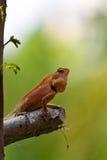 Closeup Thai chameleon Royalty Free Stock Image