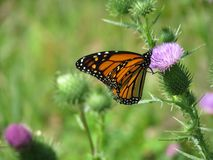 Monarch butterfly on purple thistle plant blossom. Closeup on thistle and monarch butterfly in garden setting and other buds close by stock photos