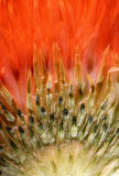 Closeup Thistle in red light. An ultranear closeup of a small thistle, pressed Stock Photos