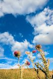 Closeup of thistles against a blue sky. Extreme closeup of thistles on a sunny summer day with cloudy blue sky in the background Stock Photo