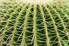 Thorn Cactus Background. Closeup thorn of circle cactus, plant texture and background royalty free stock photos