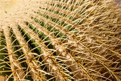 Closeup of the thorny shape of a golden barrel cactus Echinocactus grusonii Royalty Free Stock Images