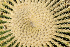 Closeup of the thorny shape of a golden barrel cactus Echinocactus grusonii Royalty Free Stock Photos