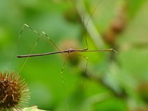 Thread Legged Assassin Bug. Closeup of a Thread Legged Assassin Bug on a green leafy background stock photos