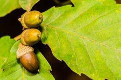 Closeup of three acorns on leaves Stock Images