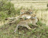 Closeup of three adult cheetah lying resting on top of a grass covered mound. In the Masai Mara National Reserve, Kenya Stock Photography