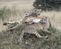 Closeup of three adult cheetah resting on top of a grass covered mound. In the Masai Mara National Reserve, Kenya Stock Photo