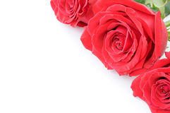 Closeup of three beautiful red roses Royalty Free Stock Photography
