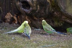 Closeup of three colorful budgies in a park in Kassel, Germany stock images