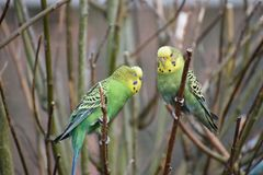 Closeup of three colorful budgies sitting on a tree branch in a park in Kassel, Germany royalty free stock images