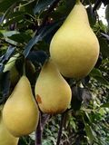 Closeup of three golden Williams pears on a branch royalty free stock image