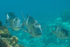 Closeup of three humpnose big-eye bream looking at me, Bali stock image