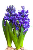 Hyacinths. Closeup of three isolated blue hyacinths Stock Photography