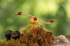 Closeup three  ladybugs swinging on the branch on the mushroom and one ladybug crawling on fungus. green background Stock Photo
