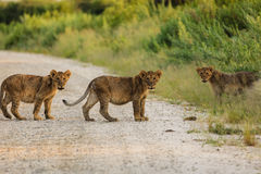 Closeup of three lion clubs crossing the road facing the photographer Stock Photography