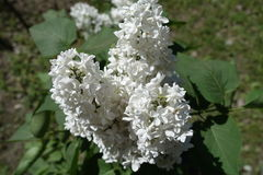 Closeup of three panicles of white lilac flowers Stock Photo