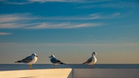Closeup of three seagulls standing on a wooden fence in Sopot. Poland royalty free stock photos