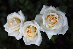 Closeup of three white roses `Honey Milk` in the rose garden. stock photography