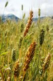 Closeup of tibetan wheat Royalty Free Stock Photography