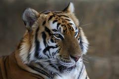 Closeup of Tiger Stock Photos
