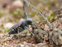Tiger Beetle On Dried Plant Head. Closeup of a Tiger Beetle on a dried plant head with a sandy background stock photography