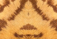 Closeup of tiger fur with beautiful stripes real texture of anim. Al pelt Royalty Free Stock Images