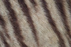 Closeup of tiger fur. With beautiful stripes real texture of animal pelt Royalty Free Stock Image