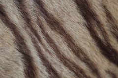 Closeup of tiger fur. With beautiful stripes real texture of animal pelt Royalty Free Stock Photography