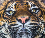 Closeup tiger nose mouth Royalty Free Stock Photos