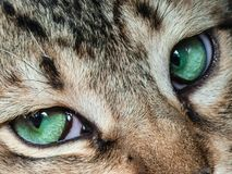 A closeup of a tiger-striped cat`s fantastic big green eyes. Royalty Free Stock Image